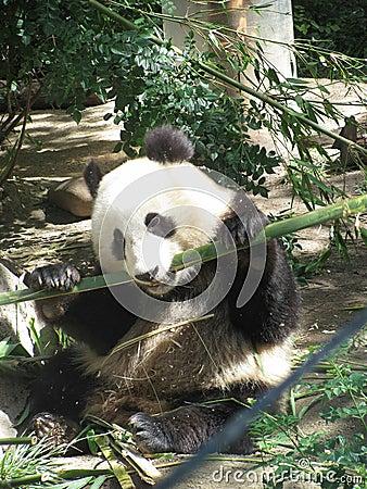 Free Giant Panda Royalty Free Stock Photography - 75570097