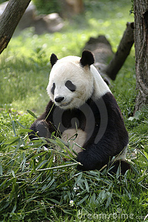 Free Giant Panda Royalty Free Stock Photos - 958158