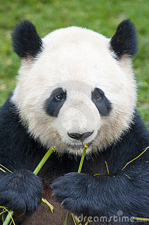 Giant Panda Bear Eating Bamboo Royalty Free Stock Image