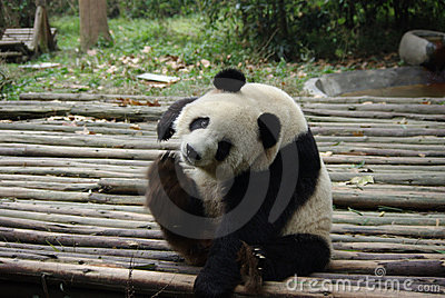 Giant panda of China