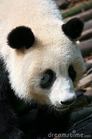 Giant Panda climbing down