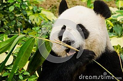 Giant Panda Eating