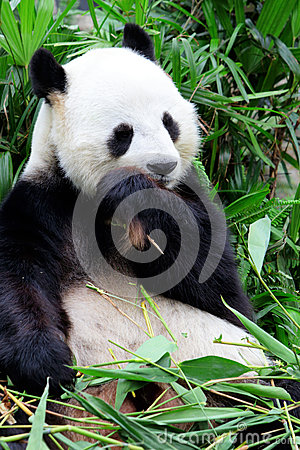 Giant panda eating bamboo