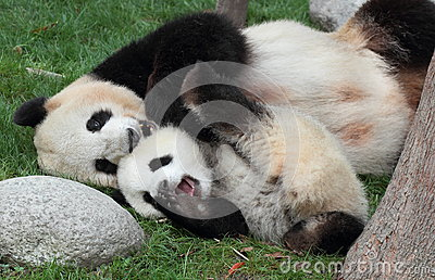 Giant panda with its cub Stock Photo