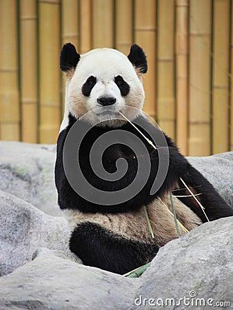 Free Giant Panda Portrait Royalty Free Stock Images - 47063299