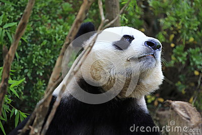 Giant Panda 4