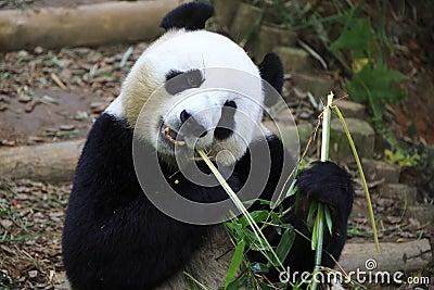 Giant Panda 5