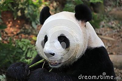 Giant Panda 6