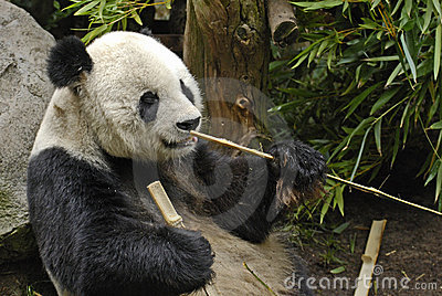 Giant Panda with Sticks