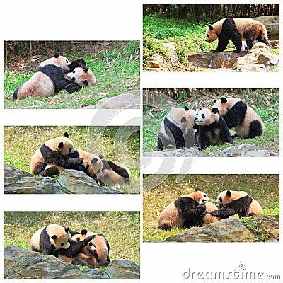 Giant Pandas Collage