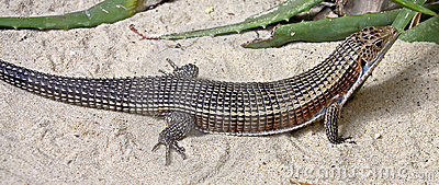 Giant plated lizard 1