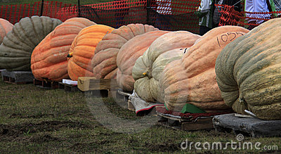 Giant pumpkin line Editorial Image