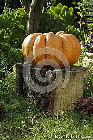 Giant Pumpkin on Stump