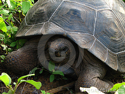 Giant rare galapagis tortoise in the wild