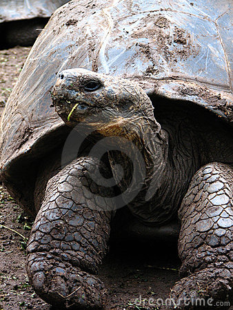Giant rare galapagos tortoise