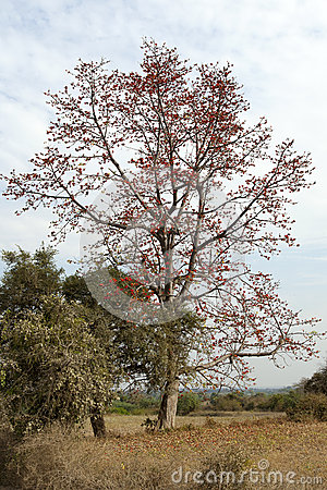 Red Coral Tree in Bloom