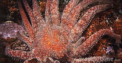 Giant Red Starfish