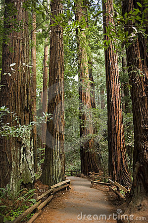 Giant redwood trees in Muir Woods, California