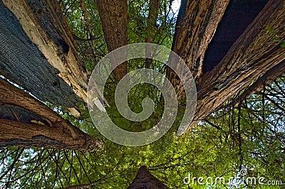 Among giant redwoods