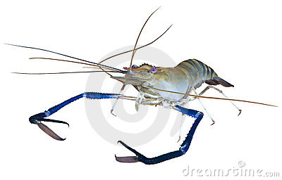 Giant river prawn cutout