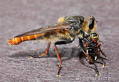 Giant Robber Fly with Bee Prey