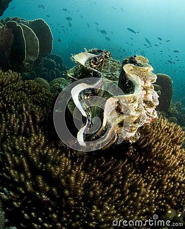Giant sea clam