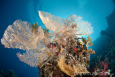 Giant sea fan colony
