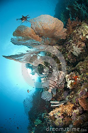 Giant sea fan with Common Lionfish.