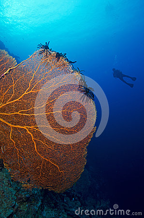 Giant Sea fan and diver