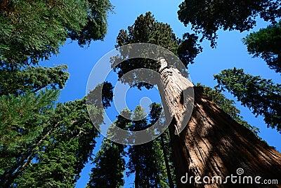 Giant sequoia tree blue sky