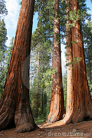 Free Giant Sequoias, Mariposa Grove Royalty Free Stock Photo - 3803345