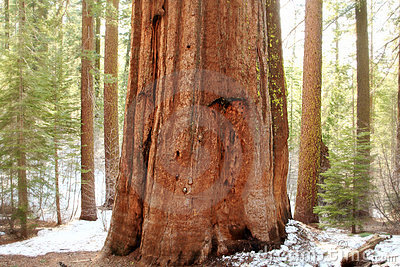 Giant Sequoias,Yosemite National Park