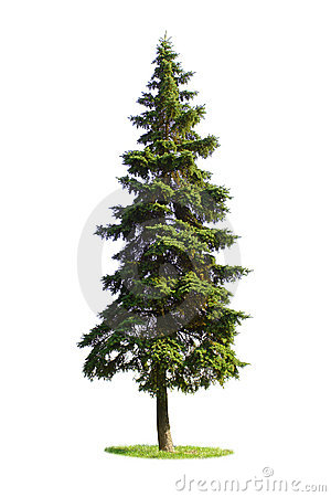 Free Giant Spruce Tree Stock Images - 3943854