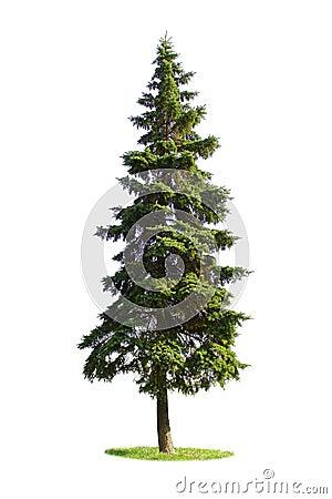 Giant spruce tree
