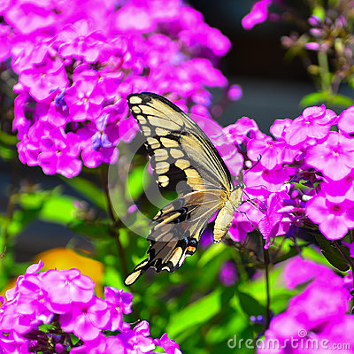 Free Giant Swallowtail Butterfly Stock Image - 87988961