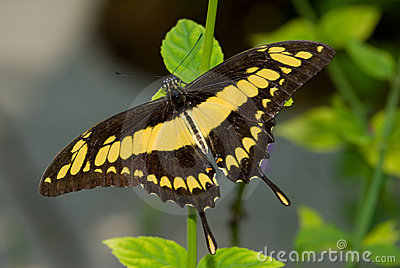 Giant Swallowtail Butterfly (Papilio cresphonte)