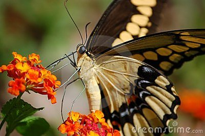 Giant Swallowtail close-up