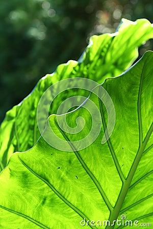 Giant Taro Leaves