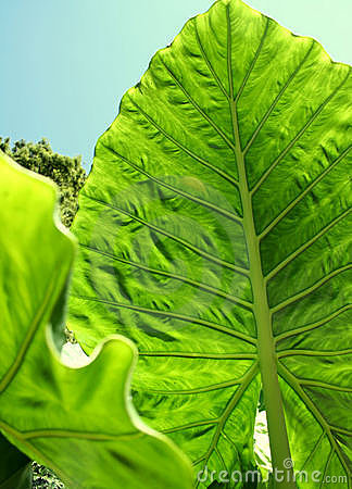 Giant Taro Leaves