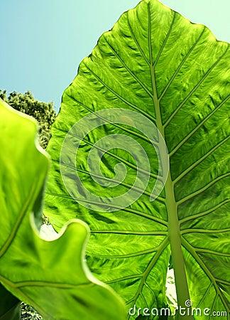 Free Giant Taro Leaves Stock Photo - 6315790
