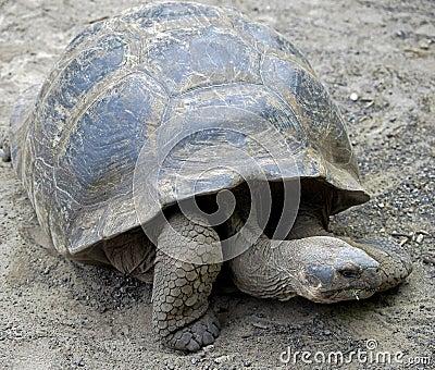 Giant tortoise 4