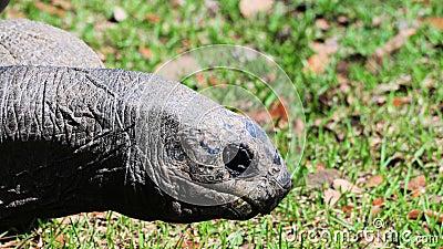Giant tortoise face