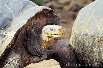 Giant tortoise, Galapagos Islands, Ecuador