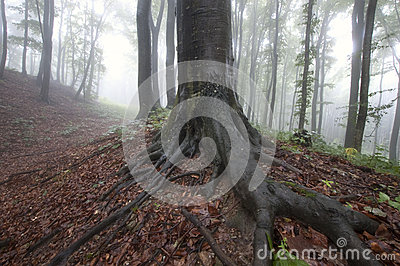 Giant tree with big roots in an enchanted beautiful forest with fog