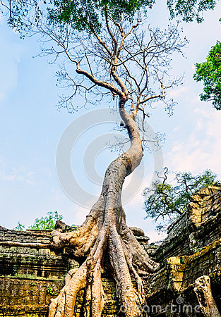 Free Giant Tree On The Roof Of The Tample Royalty Free Stock Photography - 31656917
