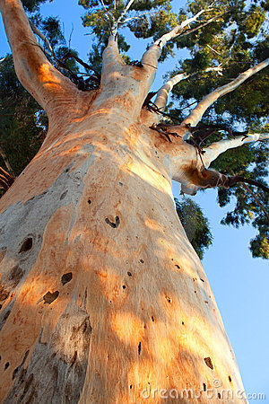 Free Giant Tree Trunk Rising Up Royalty Free Stock Photography - 23567237