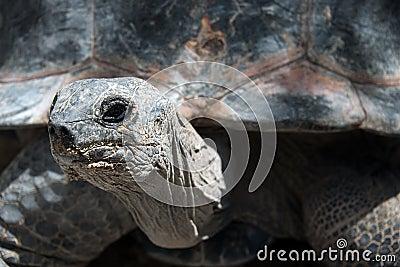 Galapagos Giant Turtoise
