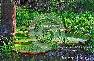 The Giant Victoria Amazonica (The Amazonia)