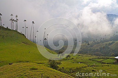 Giant Wax Palms, Cocora Valley, Colombia
