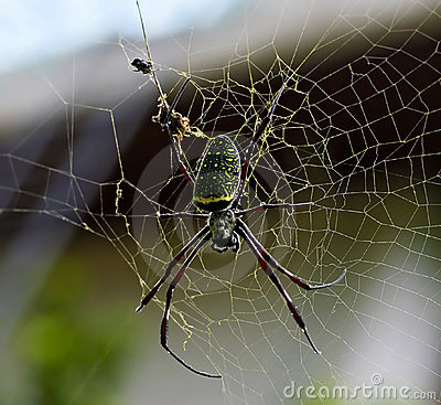 Free Giant Wood Spider Royalty Free Stock Photography - 11248267